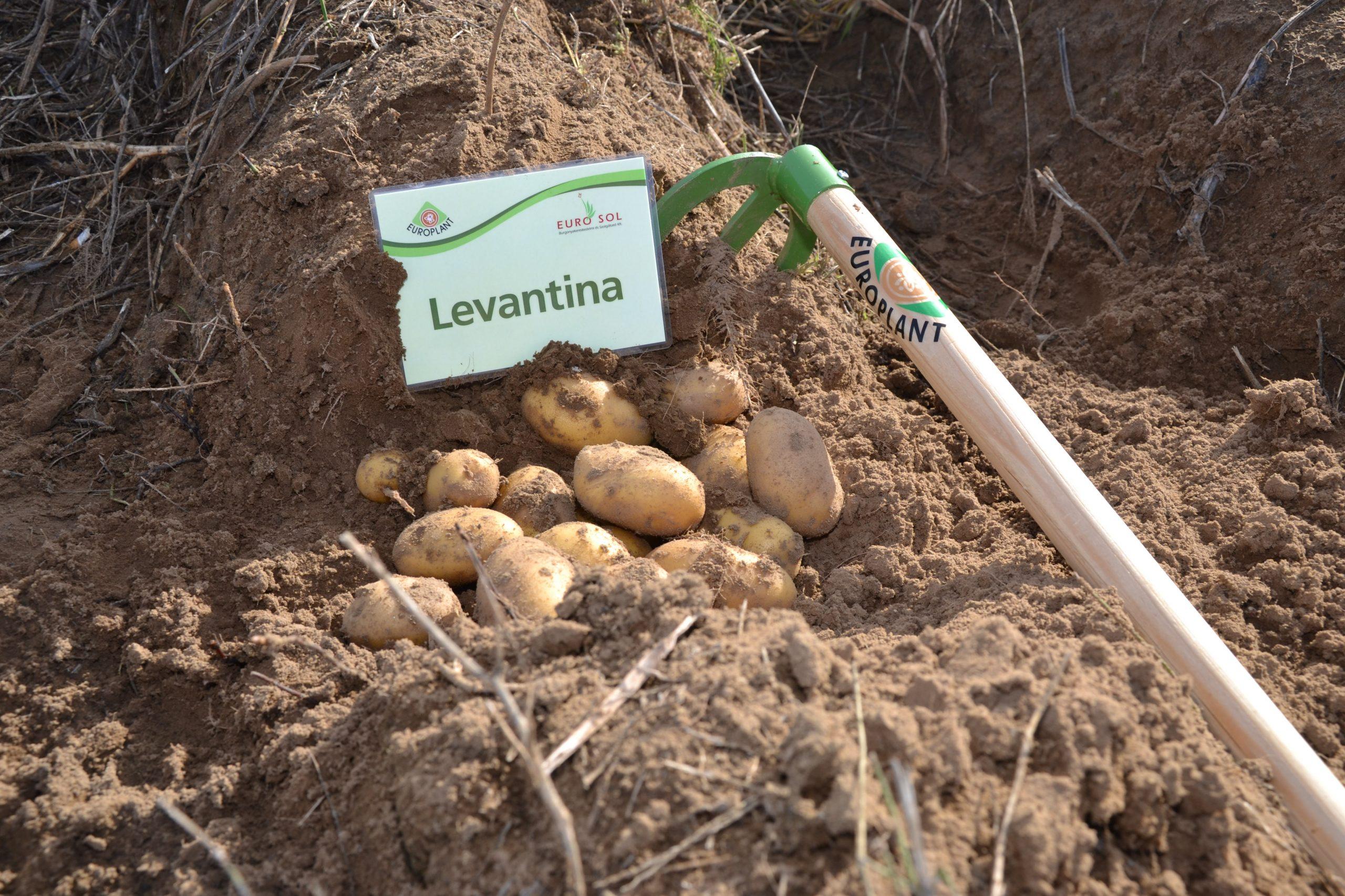 Levantina_02