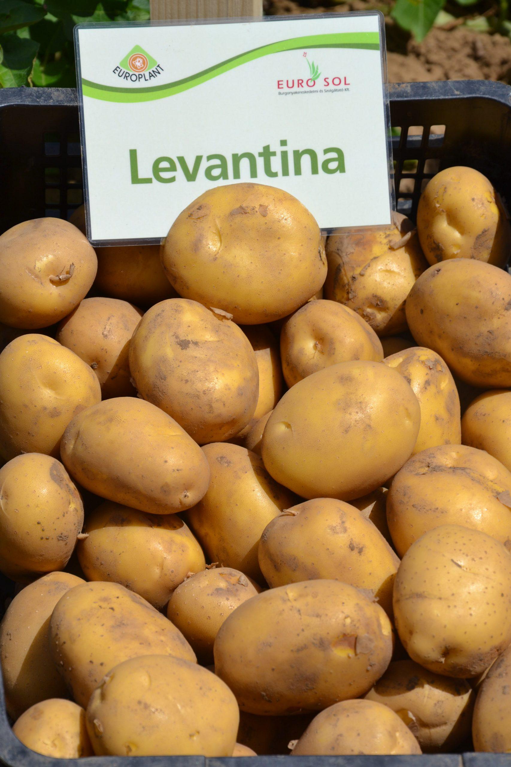 Levantina_06