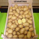 Levantina_08