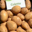 colette_6